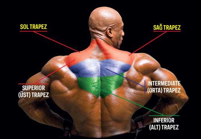 Trapez Anatomi
